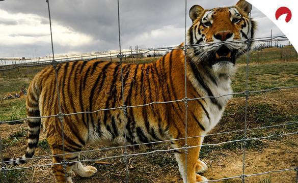 Las Vegas Expert Picks: Tiger King